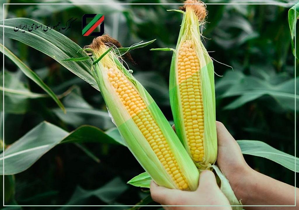 رفع ممنوعیت صادرات بذر ذرت هیبری